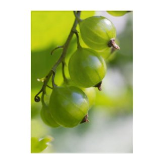 Green gooseberries in the sun CC0850 Acrylic Wall Art