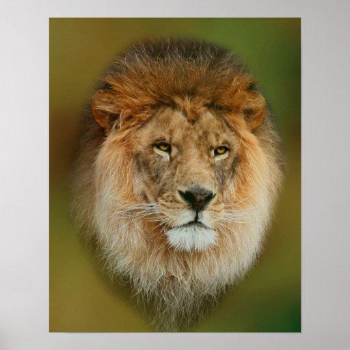 A Majestic Lion Poster