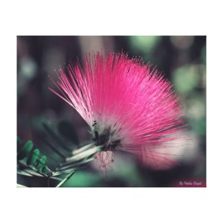Albizia julibrissin(Persian silk tree) Canvas Print