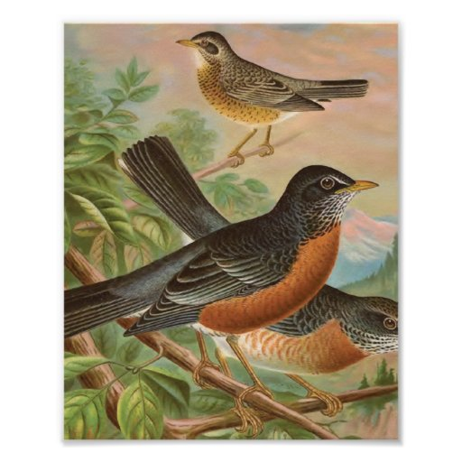 American Robin Vintage Bird Illustration Print | Zazzle