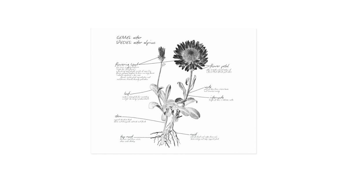 annotated botanical diagram postcard zazzle. Black Bedroom Furniture Sets. Home Design Ideas