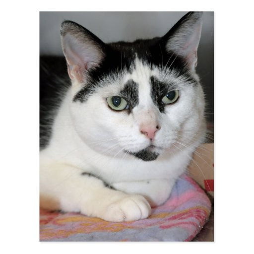 Black And White American Shorthair Cat Pictures to Pin on ...