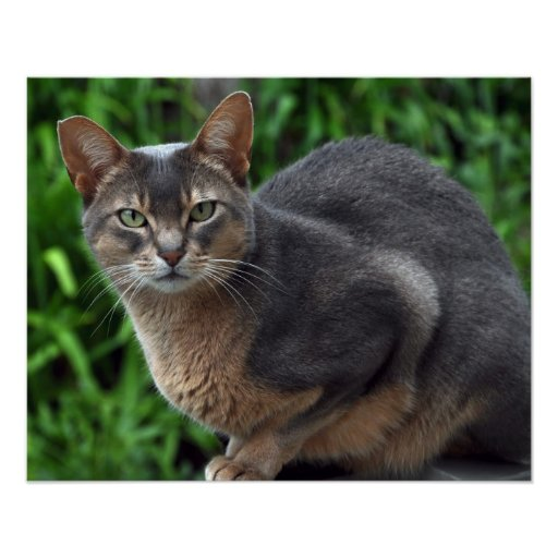 Blue Abyssinian cat - poster | Zazzle