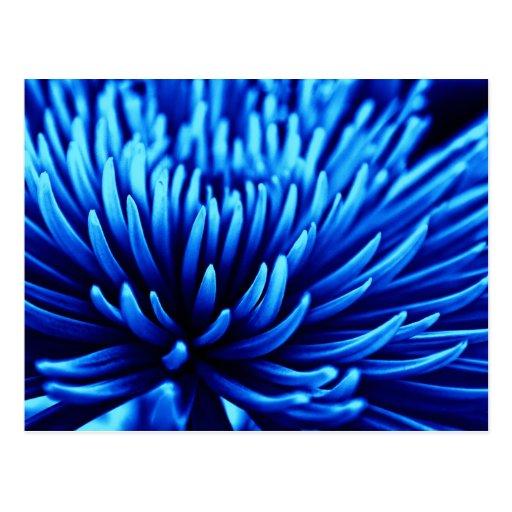 Blue Chrysanthemum flower art postcard | Zazzle
