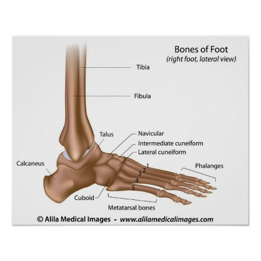 bones of foot labeled diagram poster zazzle. Black Bedroom Furniture Sets. Home Design Ideas