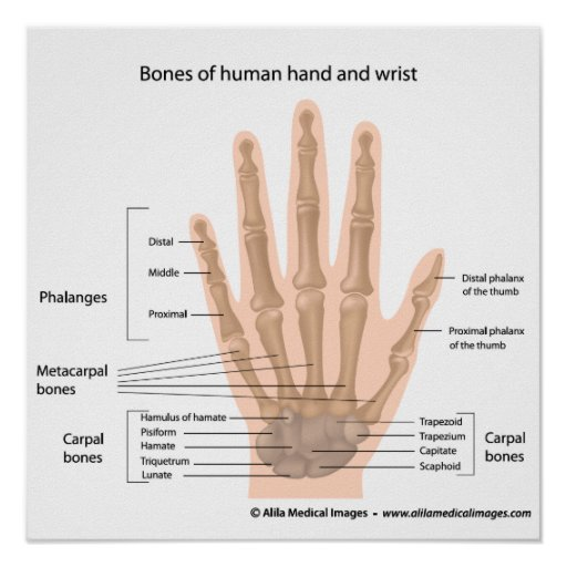 bones of the hand, labeled diagram. poster | zazzle hand diagram to label eye diagram to label kifd