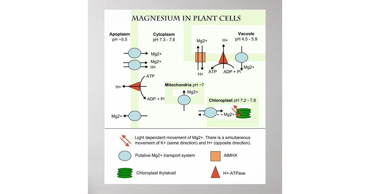botany diagram of magnesium in plant cells poster zazzle. Black Bedroom Furniture Sets. Home Design Ideas