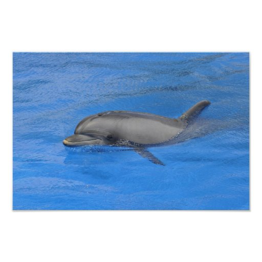 Bottlenose dolphin swimming poster | Zazzle