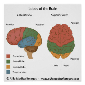 brain diagram posters zazzle. Black Bedroom Furniture Sets. Home Design Ideas