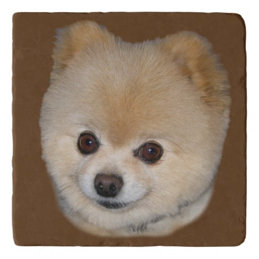 Brown And White Pomeranian Dog Customizable Trivet Zazzle