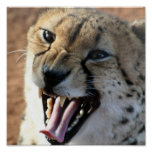 http://rlv.zcache.com/cheetah_snarl_poster-r6962447836aa4e07b1ee9380931fb3fc_w10_152.jpg