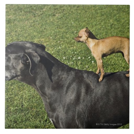 Chihuahua On Great Dane S Back 2 Tile Zazzle