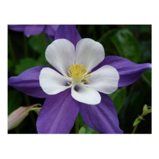 Columbine Floral And Gifts: Columbine Purple And White Flower Postcard