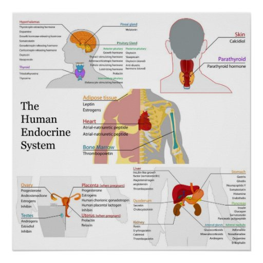 endocrine system diagram worksheet quotes. Black Bedroom Furniture Sets. Home Design Ideas