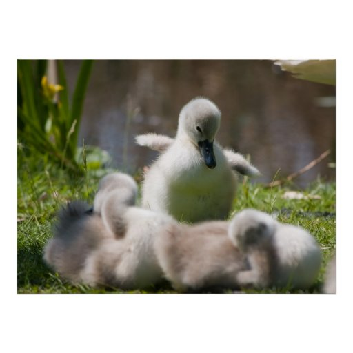 Cute fluffy cygnet baby swan poster, print, gift poster ...