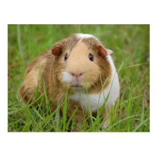 R Guinea Pigs Rodents Cute orange-white guinea pig