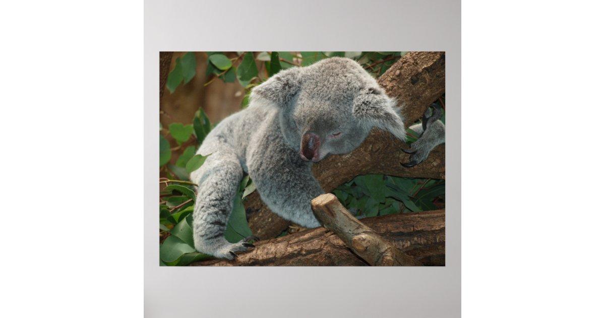 Cute Sleeping Koala Bear Poster | Zazzle