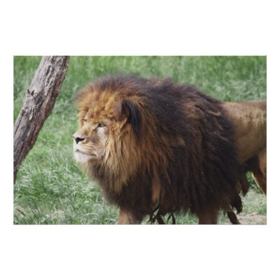 http://rlv.zcache.com/dark_maned_male_lion_poster-p228144436791285070trma_400.jpg