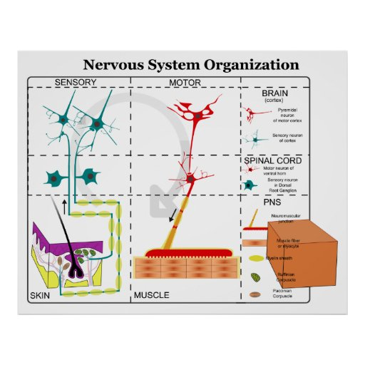 Diagram of Basic Nervous System Functions Poster | Zazzle