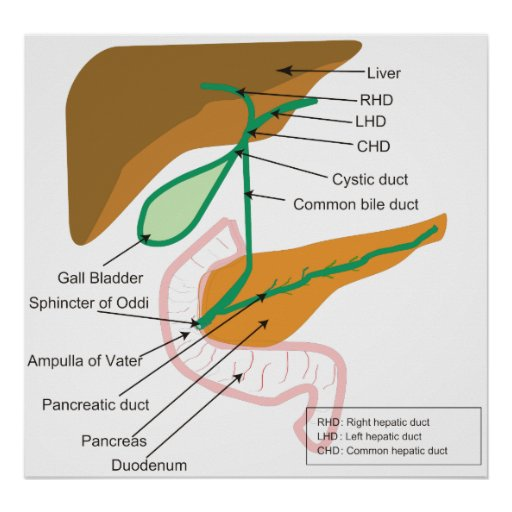 Diagram of the Human Biliary System Bile Duct Poster | Zazzle