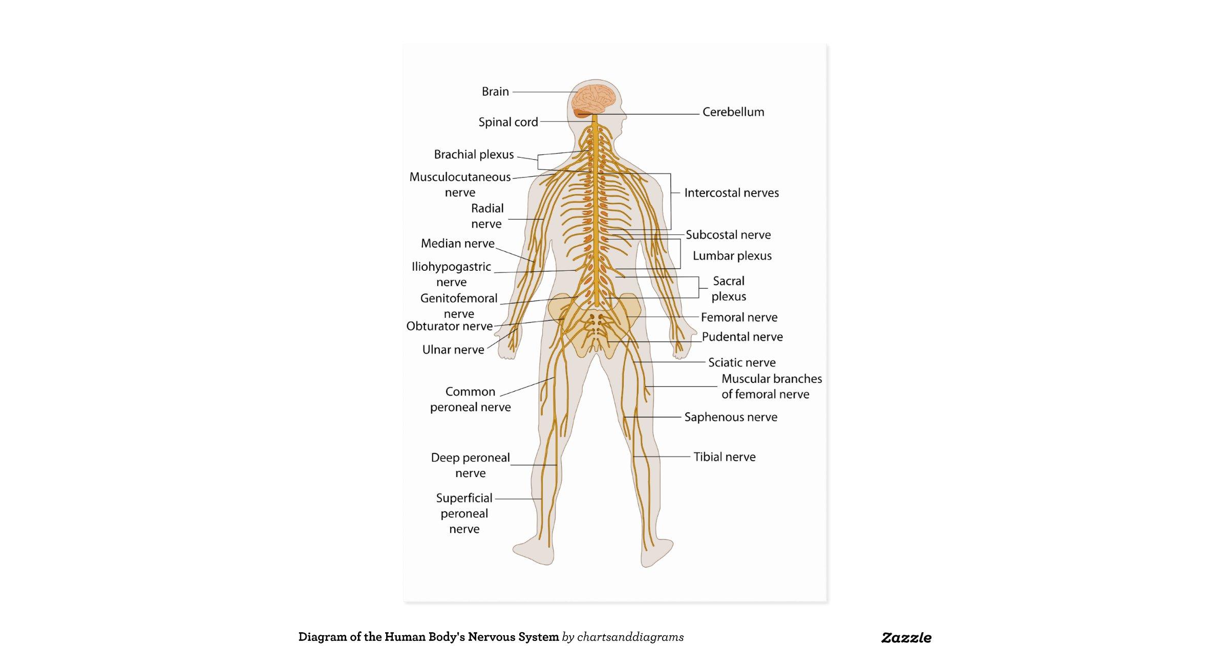 diagram of the human bodys nervous system postcard r03373c33f107477080950e09c78872f2 vgbaq 8byvr. Black Bedroom Furniture Sets. Home Design Ideas