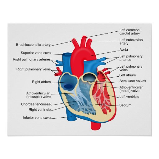 Diagram of the Individual Parts of the Human Heart Poster ...