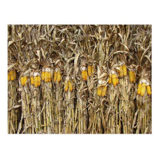 Corn Stalk Decoration Ideas: Dried Corn Stalk Decorations Postcard