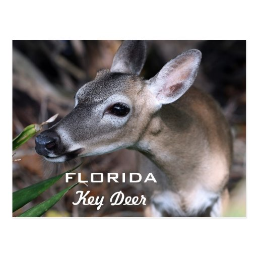 Florida Key Deer In The Florida Keys