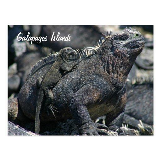 Galapagos Marine Iguana with baby Postcard | Zazzle