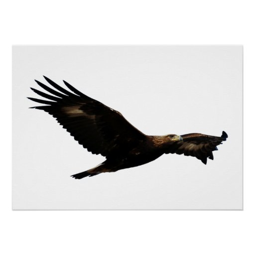 Soaring Golden Eagle Golden Eagle So...