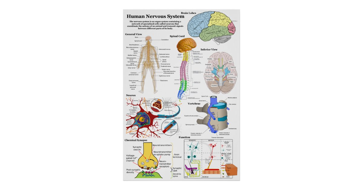 Human Brain and Central Nervous System Diagram Poster | Zazzle