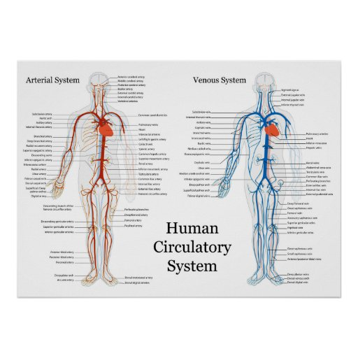 human arterial and ven...