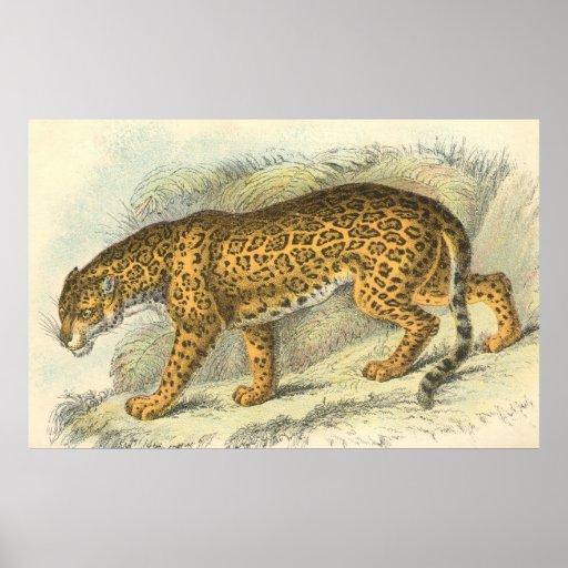 Jaguar Felis Onca: Jaguar, Felis Onca Print