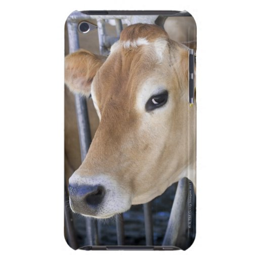 Jersey dairy cow with head in head lock. Case-Mate iPod ...