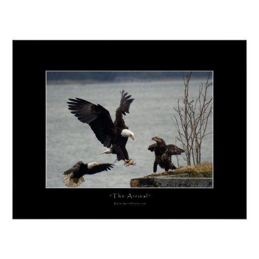 The Eagle Has Landed Quote: LANDING BALD EAGLE Photo Poster