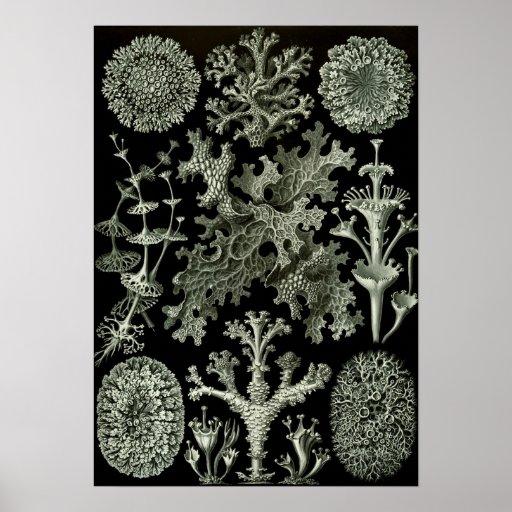 Lichen By Ernst Haeckel, Vintage Nature Plants Poster