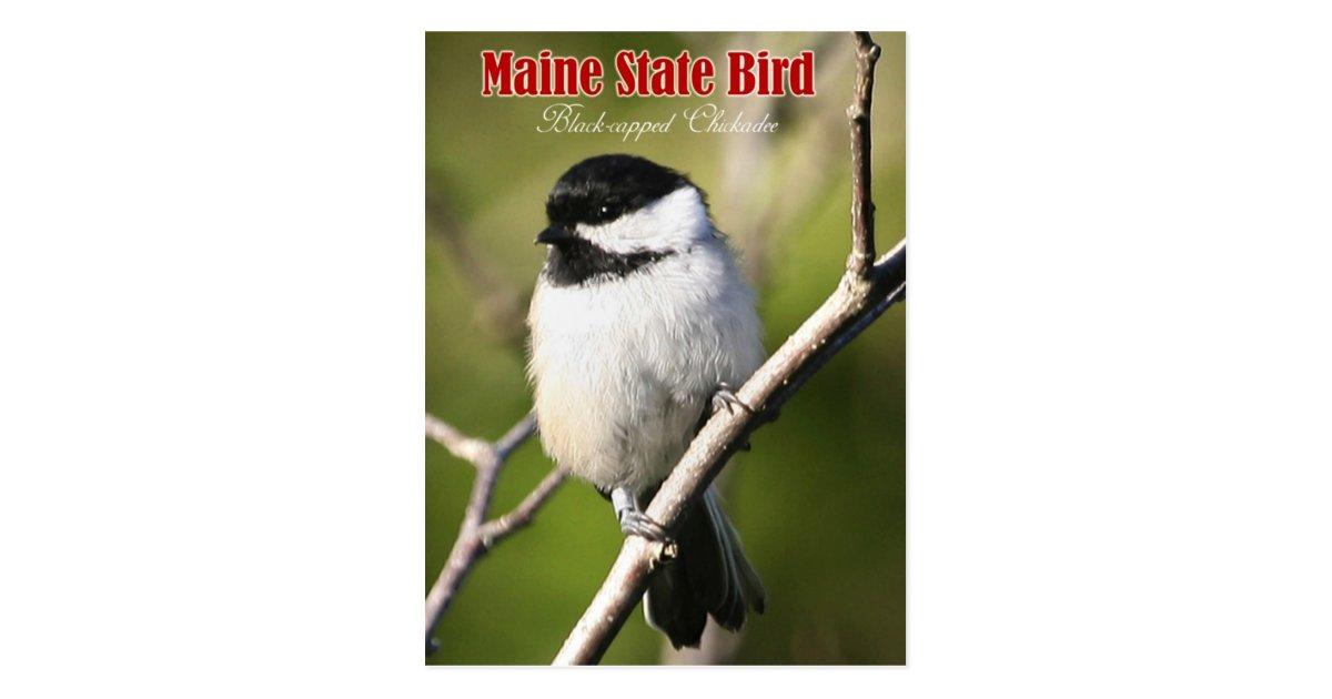 Maine State Bird - Black-capped Chickadee Postcard   Zazzle
