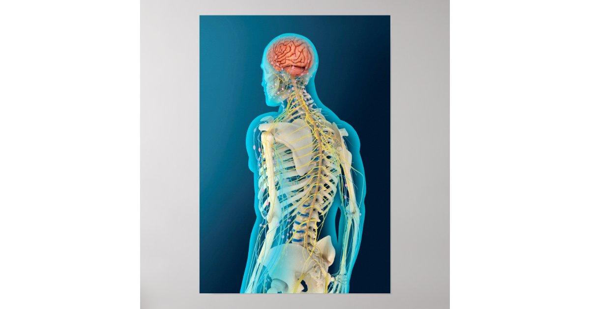 Medical Illustration Of Human Brain & Brain Stem Poster ...