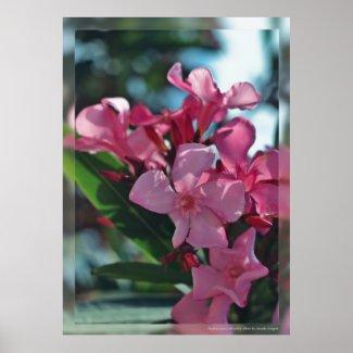 Mediterranean oleanders