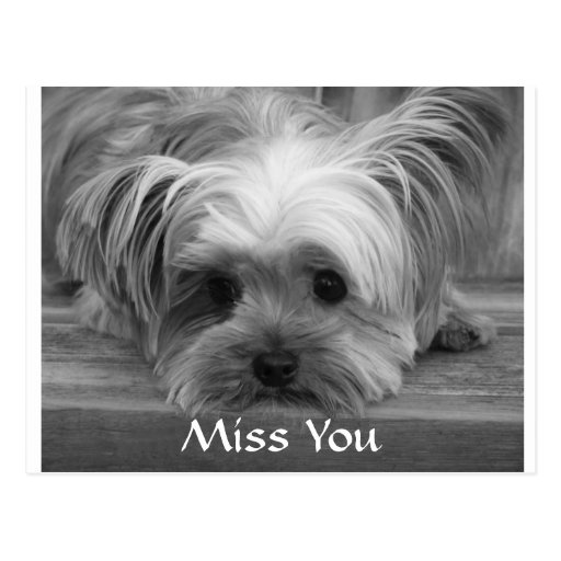 Miss You Yorkshire Terrier Puppy Dog PostcardI Miss You Yorkie