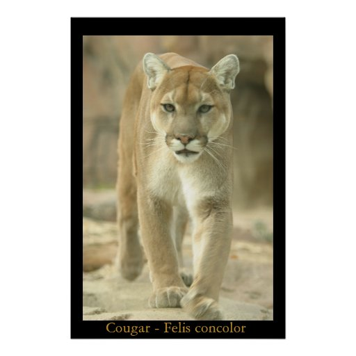 Mountain Lion - Felis Concolor Poster