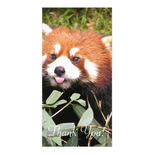 Plucky Red Panda Eats Bamboo, Makes Funny Face Card | Zazzle