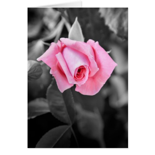 Roses Black And White Pink | www.imgkid.com - The Image ...