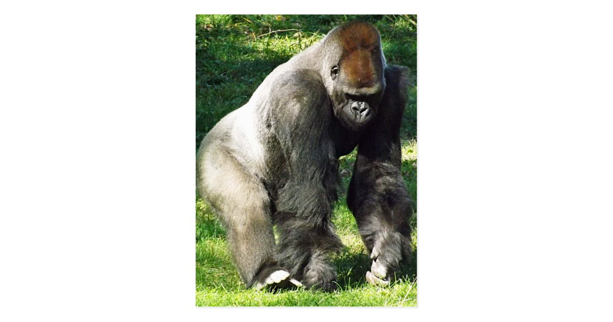 Gorilla standing up - photo#42