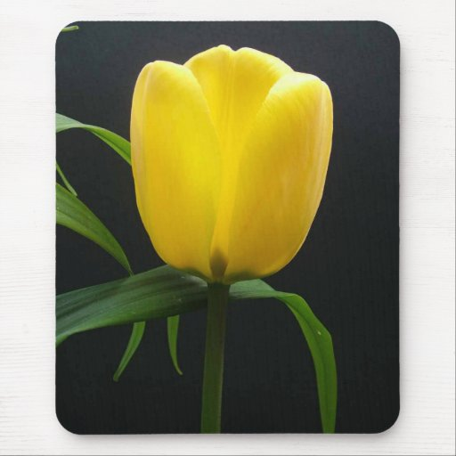 Single yellow tulip flower in black background mouse pad ...