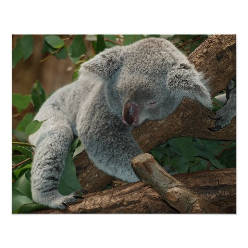 Sleeping Koala Bear Poster | Zazzle