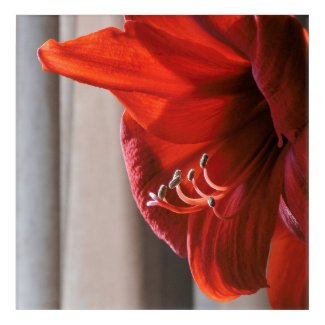 Red Lion Amaryllis Flower Close-up Acrylic Wall Art