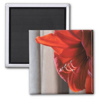 Red Lion Amaryllis Flower Macro Photo 2 Inch Square Magnet