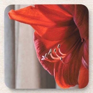 Red Lion Amaryllis Flower Photograph Coaster