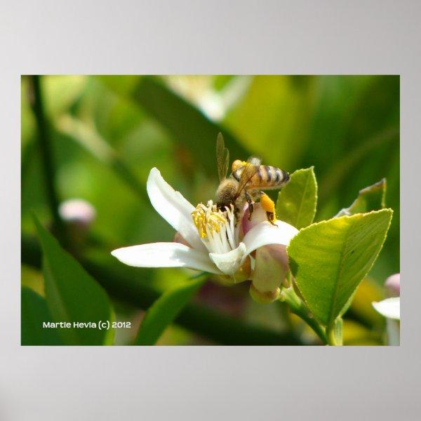 Lemon Blossom Bee III